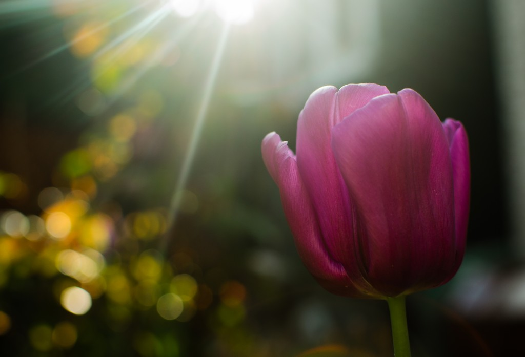 Chris Combe Sunburst Tulip