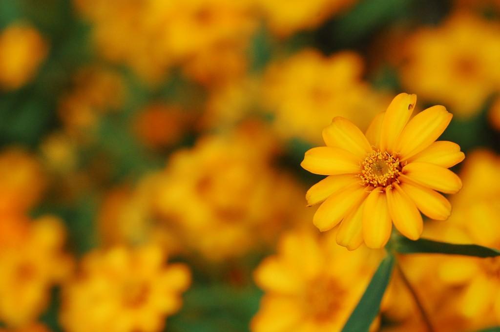Vincent Lock flower field